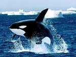 File:Orca.jpg