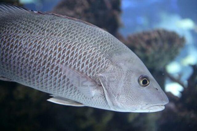 File:Grey fish in real life.jpg