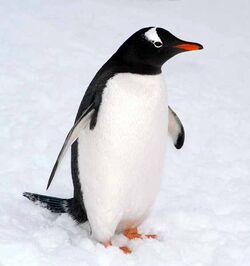 Gentoo Penguins image1