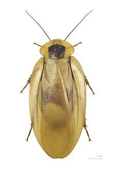File:220px-Blaberus giganteus MHNT dos.jpg