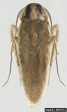 File:220px-Blattella asahinai the Asian cockroach - adult 05.jpg