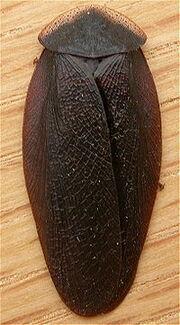 Laxta granicollis