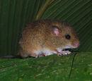 Ratón arrozalero bicolor