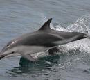 Delfín de Fraser