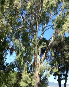 679746 big eucalyptus