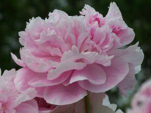 File:551984 pink carnation.jpg