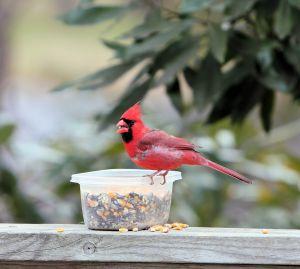 721832 cardinal
