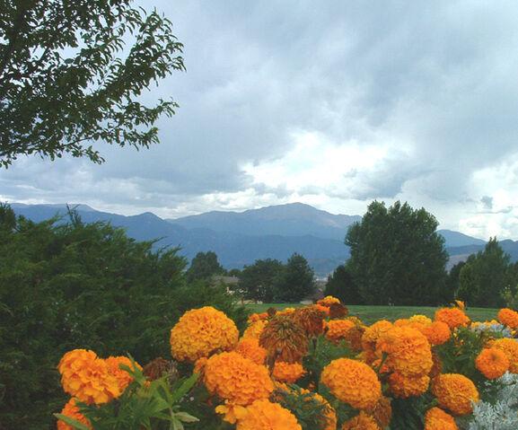 File:Marigold+Flowers-6546.jpg