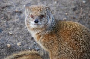 File:698951 yellow mongoose.jpg