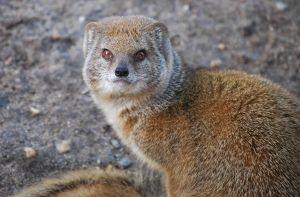 698951 yellow mongoose