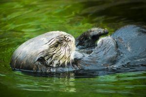 1021876 sea otter detail 2