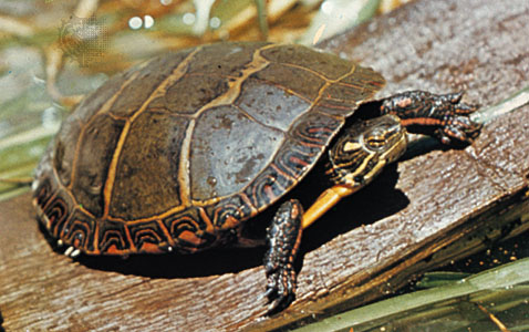 File:Paintedturtle56.jpg