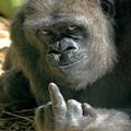 File:Fuck monkey.jpg