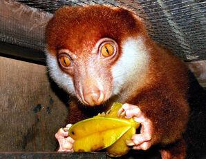 Cucus Eating a Star Fruit by DarkAnubis420
