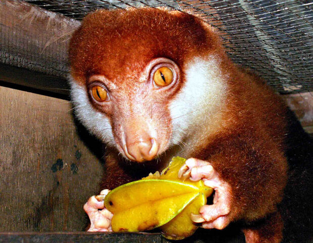 File:Cucus Eating a Star Fruit by DarkAnubis420.jpg