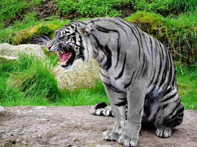 File:Solengu Tiger.jpg