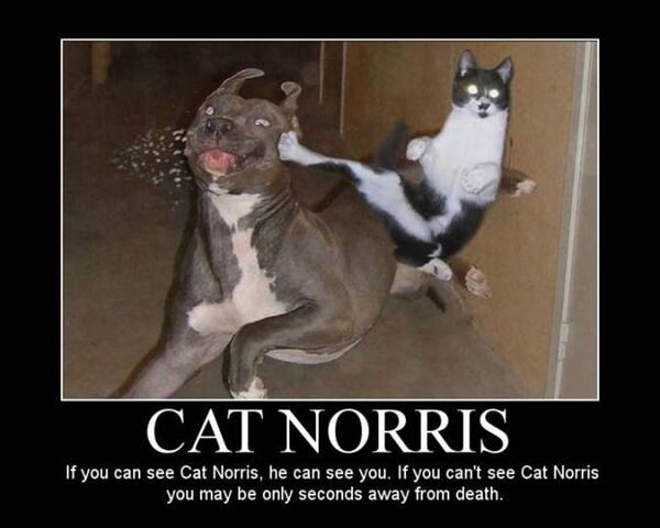 File:Catnorris.jpg
