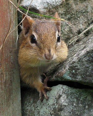 File:Chipmunk creativecommons-3-.jpg