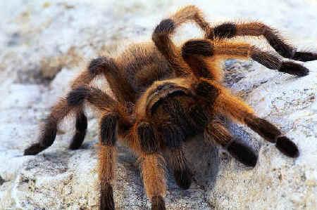 File:Tarantula (1).jpg