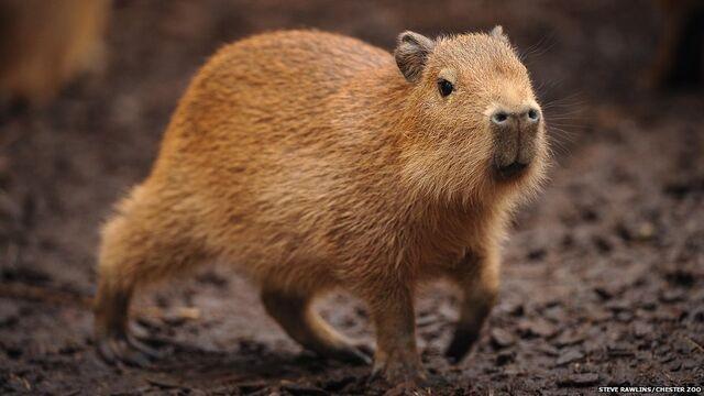 File:Capybara 2.jpg