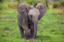 Animals chrome elephants baby elephant safari chrome os baby animals mario moreno 2560x1700 wallp www.wallmay.com 58