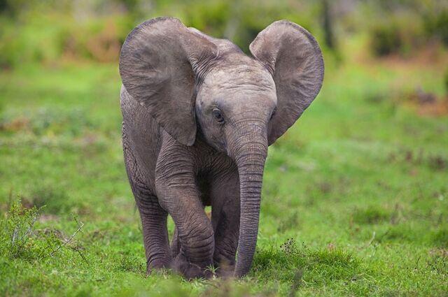 File:Animals chrome elephants baby elephant safari chrome os baby animals mario moreno 2560x1700 wallp www.wallmay.com 58.jpg