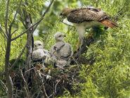 Rbz-red-tail-hawks-nesting-03