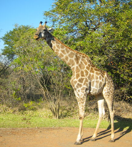 File:Giraffa camelopardalis -Zambia-8.jpg