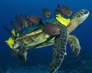 Green-sea-turtle-tangs