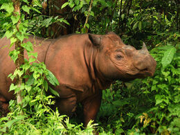 Photo 1 Sumatran rhino 3 (c) Bill Konstant International Rhino Foundation