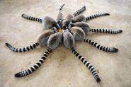 Ring-tail-lemur-social-eating