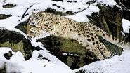 Snow-leopard-rescue-2