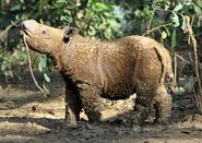 SumatranRhino Andatu USE