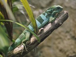 Fiji banded iguana in Vienna Zoo on 2013-05-12
