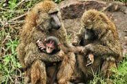 Baboon-Baby-1024x682