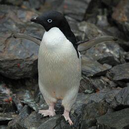 Adélie Penguin (5914013521)