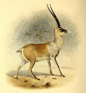The book of antelopes (1894) Pantholops hodgsoni