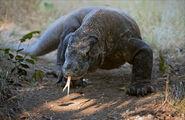 Komodo-dragon.