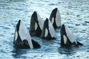 Herd of Killer Whales 600