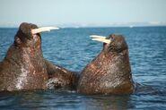 Walrus Fighting 600