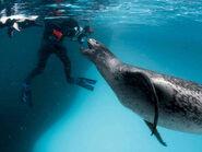 Leopard-Seal-Feeds-Photographer-Penguins