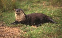African-clawless-otter
