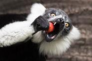 Black-and-white Ruffed Lemur Image4 - Alex Cearns