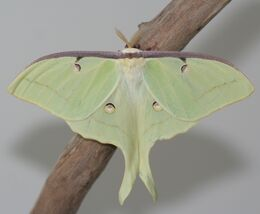 Male Luna Moth, Megan McCarty141