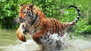 Why-are-bengal-tigers-endangered d61e424a1f02acdc