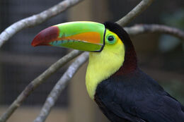 Keel billed toucan7