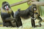 Mandrill-Baby-Chills-Literary-Family