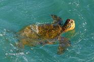 Hawaiian-sea-turtle