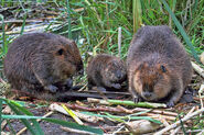 Beaver-family-peggy-collins