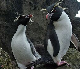 Rockhopper Penguins Antarctic
